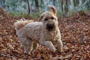 Soft-Coated-Wheaten-Terrier-Hypoallergenic