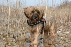 Tibetan-Terrier-Hypoallergenic