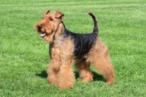 Welsh-Terrier-Hypoallergenic