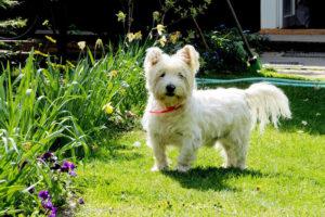 West-Highland-White-Terrier-Hypoallergenic