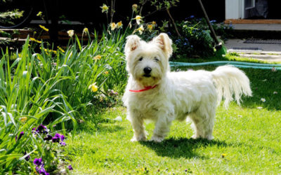 Dear Santa … from a West Highland White Terrier