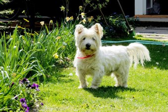 Are West Highland White Terriers Hypoallergenic Dogs?
