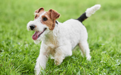 Are Wire Fox Terriers Hypoallergenic Dogs?