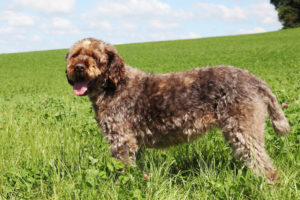 Wirehaired-Pointing-Griffon-Hypoallergenic