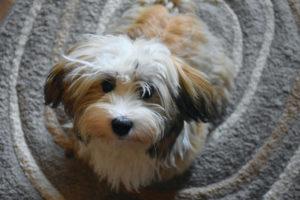 are-havanese-hypoallergenic-dogs