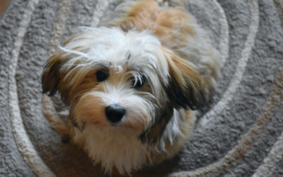 Are Havanese Hypoallergenic Dogs?