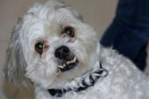 maltese-dog-teeth