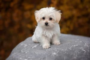 small-hypoallergenic-dogs