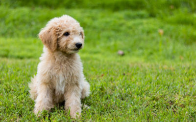 Are Goldendoodles Hypoallergenic Dogs?