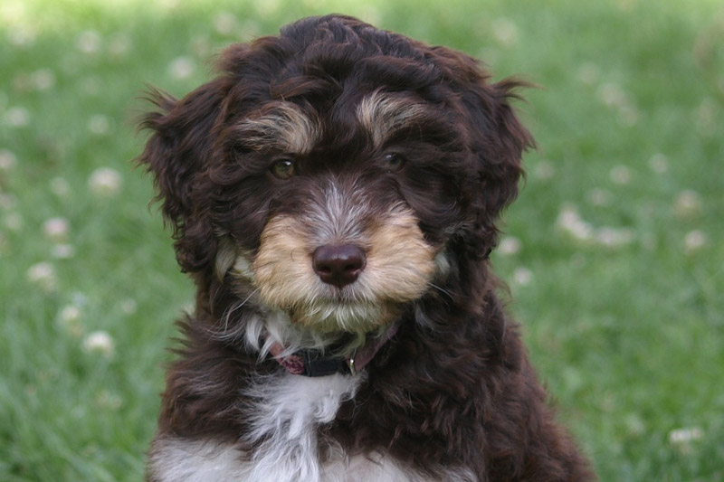 Are Aussiedoodles Hypoallergenic Dogs?
