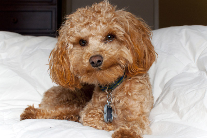 Are Maltipoos Hypoallergenic Dogs?
