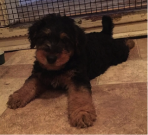 spartan-the-airedale-terrier-puppy
