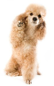 meet-the-hypoallergenic-dogs
