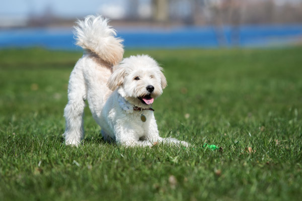 Top 12 Most Popular Hypoallergenic Dog Breeds