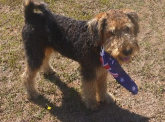 Meet Spartan, The Non-Shedding Airedale Terrier