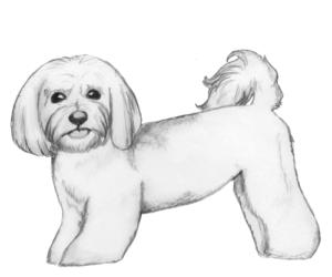 Havanese-puppy-cut
