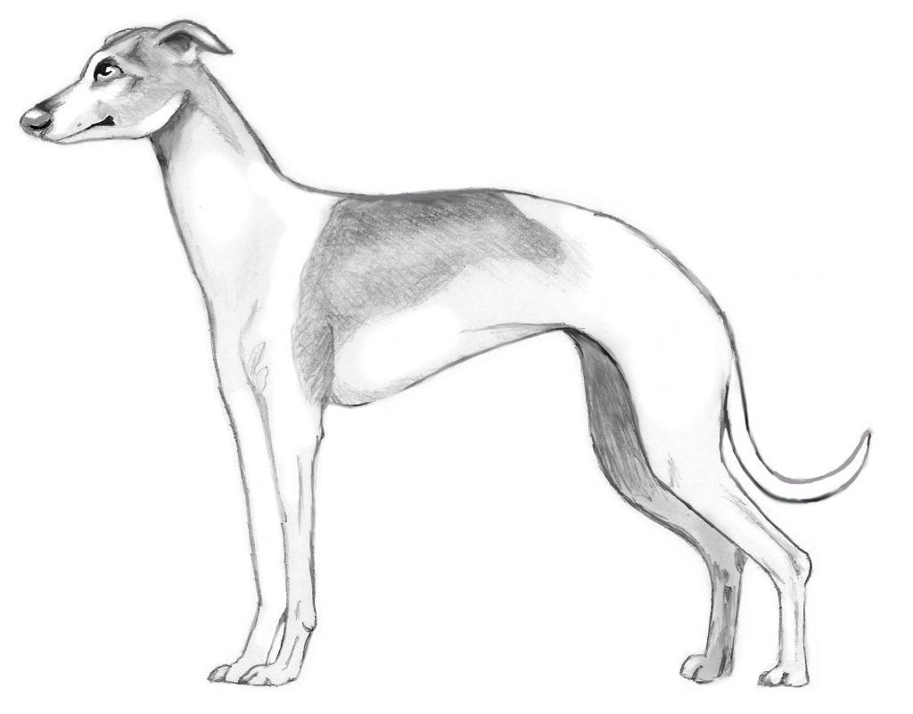 Italian Greyhound Sketch