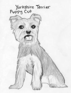 Yorkie-puppy-cut