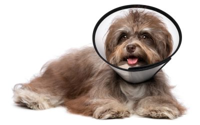 Does Neutering A Dog Calm Them Down?