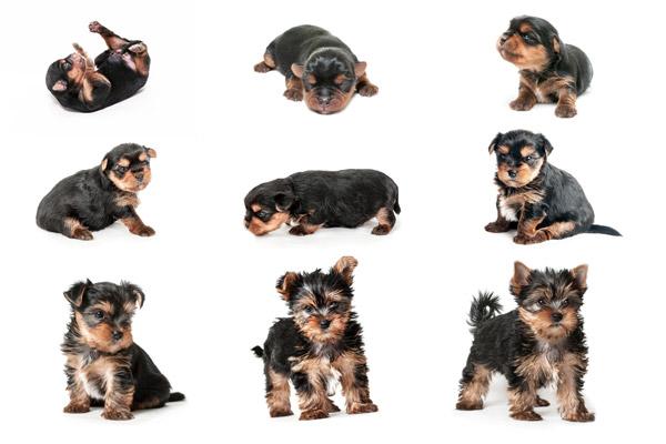 stages-of-puppy-development