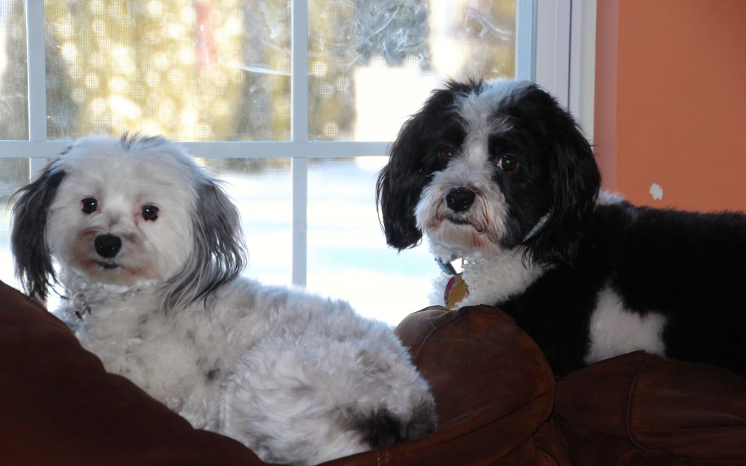 Greetings from Romeo and Juliet, Two Havanese Dogs