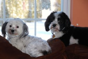 two-havanese-dogs