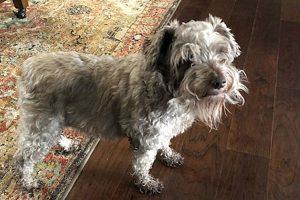 Miniature-Schnauzer-dog-Stella