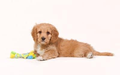 Are Cavapoos Hypoallergenic Dogs?