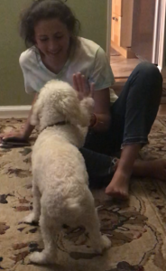 Intelligent Cockapoo learning tricks