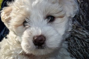 maltese-poodle-puppy