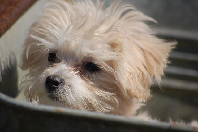 maltipoo-puppy