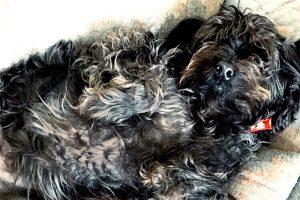 cute-labradoodle-dog-phillie