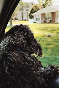 hypoallergenic-miniature-labradoodle-riding-in-car