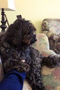 miniature-labradoodle-on-couch
