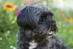 Affenpinscher black with thite spot