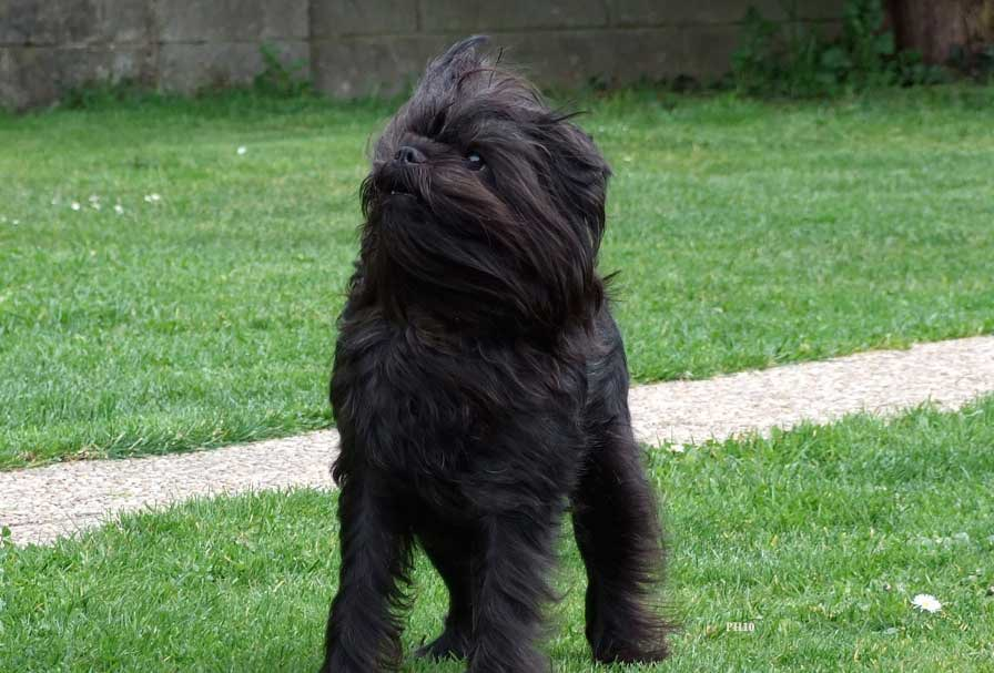 Affenpinscher in grass