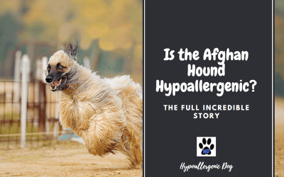 Are Afghan Hounds Hypoallergenic Dogs?