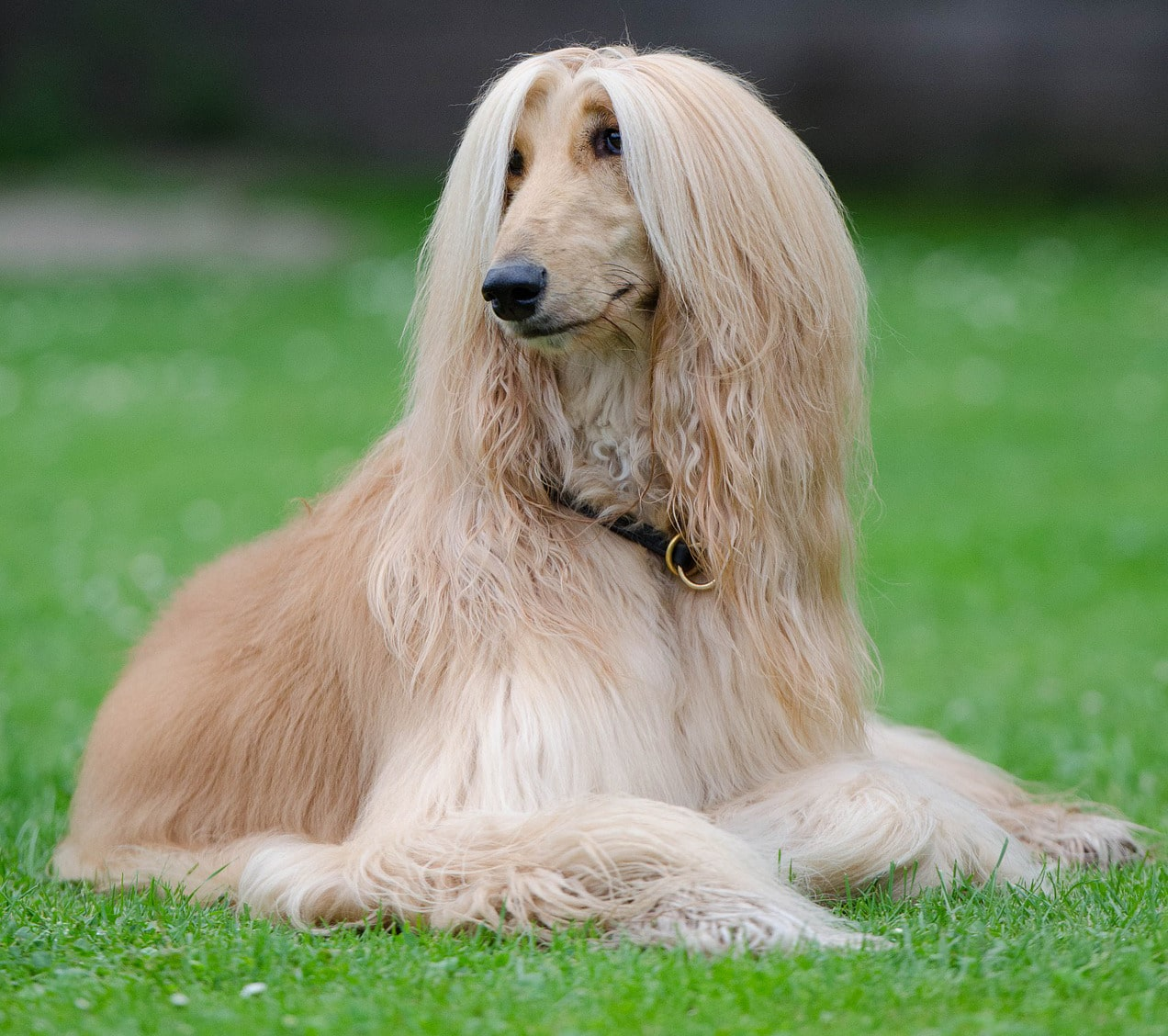 Afghan Hound on green grass