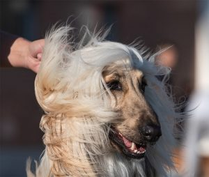 Afghan Hound on wind