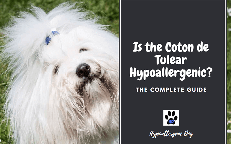 Is The Coton De Tulear Hypoallergenic The Complete Guide Hypoallergenic Dog