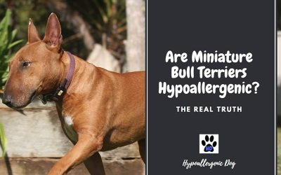 Are Miniature Bull Terrier Hypoallergenic?