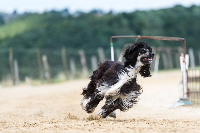 Black Afghan Hound Running
