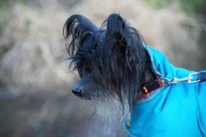 Black Chinese Crested Dog