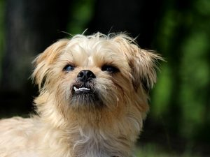 Brussels Griffon Cute