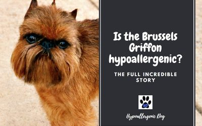Are Brussels Griffons Hypoallergenic Dogs?