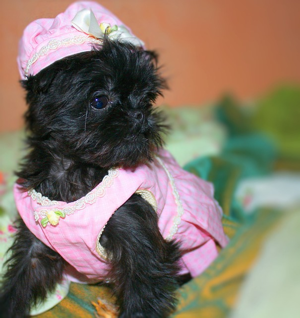 Brussels Griffon in Pink Suit