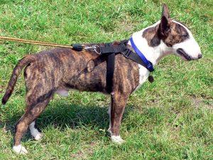 Bull terrier pulling on long leash