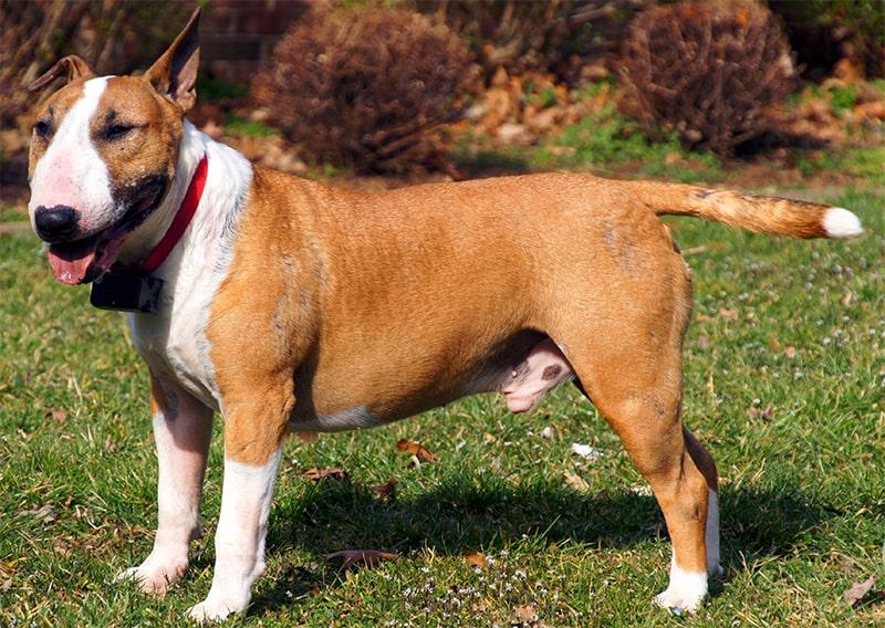 Bull terriers as pets