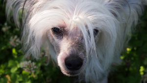Chinese Crested Dog Gray