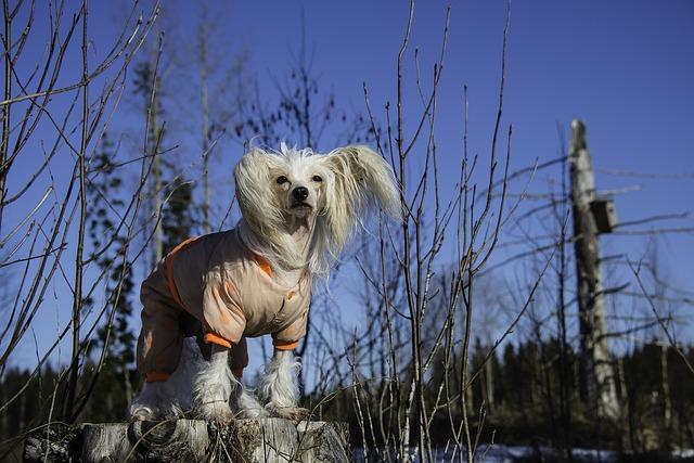 Chinese Crested Dog Gray Exercising